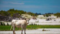 Krowy zostały porwane z wyspy Cedar w Karolinie Północnej (Paula D. O'Mally)