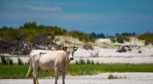 Ocalałe krowy z Karoliny Północnej (Paula D. O'Mally)