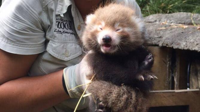 Na świat przyszły czerwone pandy. Są urocze, <br />ale ich gatunkowi grozi wyginięcie