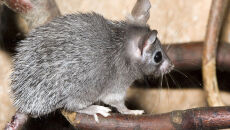 Afrykańskie myszy regenerują skórę jak gady